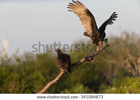 Turkey Vulture on dead tree snag