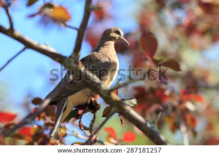 Turtledove in a tree in bloom
