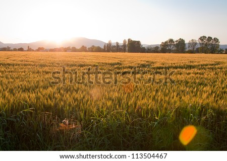 Tuscany country sunset on a wheat field with sun flare and yellow color vintage style