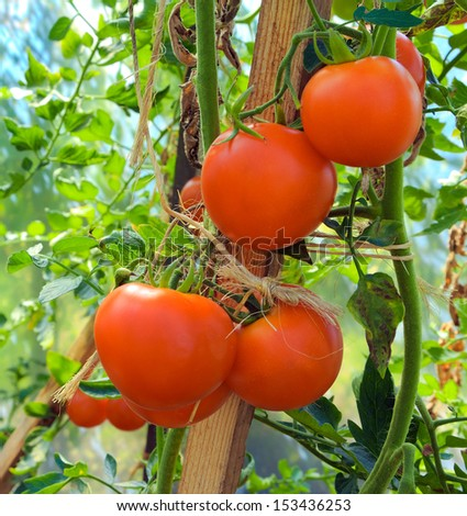 Twig aromatic Tomatoes