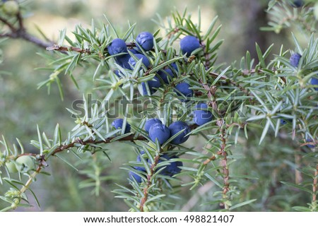 Twig of common juniper with blue berries