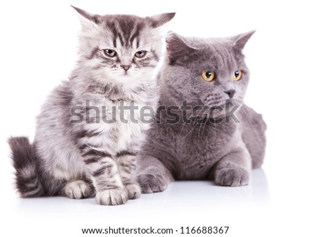 two adorable english cats, a cub and an adult sitting(lying) on a white background. an english kitten looking into the camera and an adult looking away