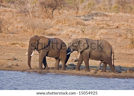 Two African elephants standing at waterhole; Loxodonta Africana; South Africa