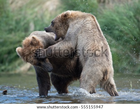 Two Alaskan brown bears sparring and fighting in the Brooks River in Katmai National Park, Alaska