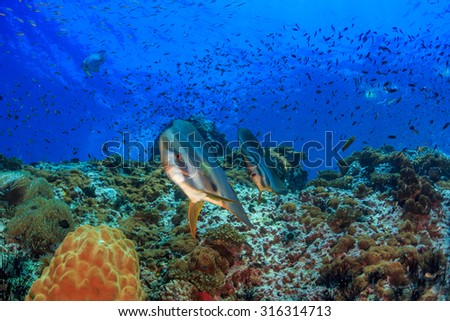 Two batfish over coral reef, Sail rock, Thailand