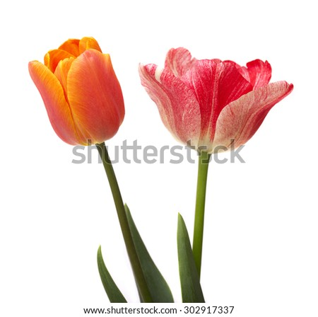 Two beautiful Tulip isolated on white background