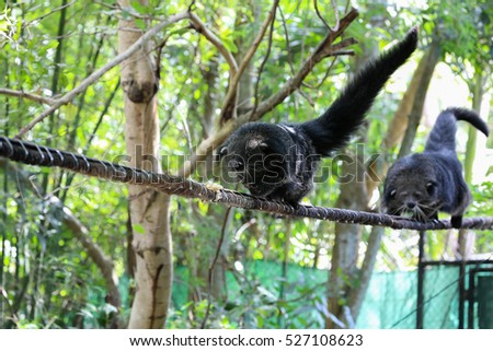 two binturong go on a tightrope