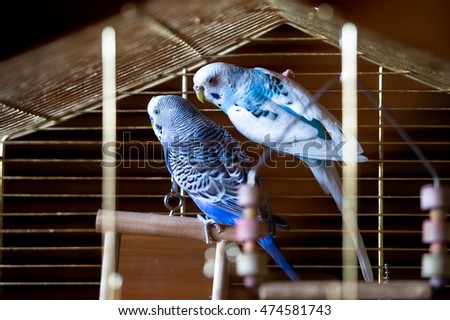 Two blue budgies in a cage
