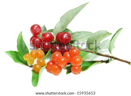 Two branches of small wild honeysuckle berry fruits  isolated on white background