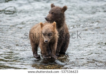 Two brown bear cub standing in a river next to each other. USA. Alaska. Katmai National Park. An excellent illustration.