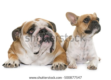 two bulldogs in front of white background