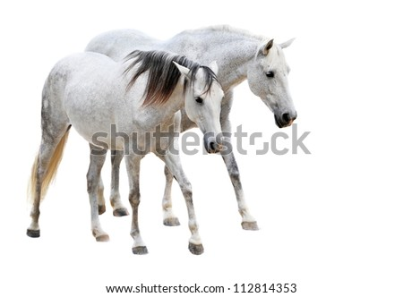 two camargues horses in front of white background
