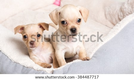 Two Chihuahua Mix Puppies Playing in Dog Bed