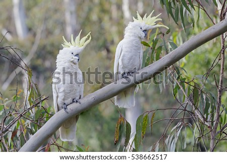 Two Cockatoos on a Tree Branch