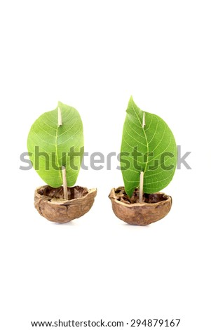 two cockleshell from a walnut shell with leaf sails on a bright background