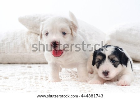 two cute bichon havanese puppies
