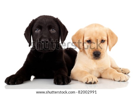 two cute labrador puppies - both very curious and looking at the camera