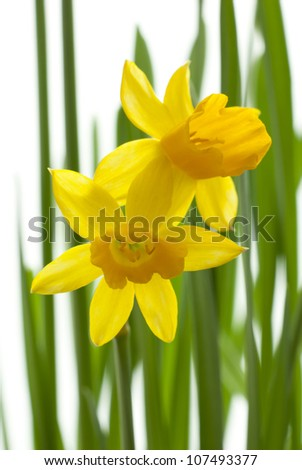 two daffodils with blur leaves, white background