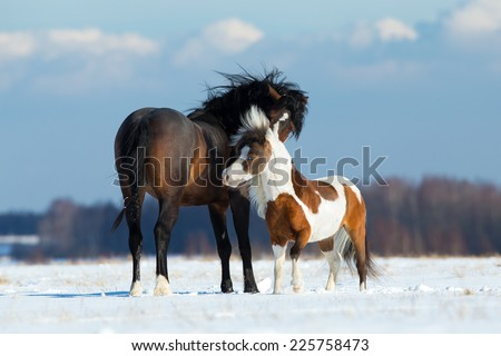 Two different horses sniffing each other outdoor in snow field in wintertime.