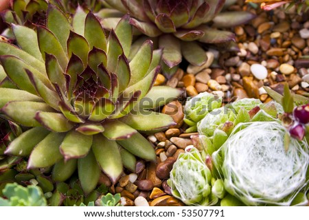 Two different species of houseleek or liveforever plant.