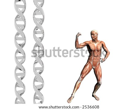Two dna strands,  muscular anatomical correct male model.  Muscles as layer map on body. Evolution concept.