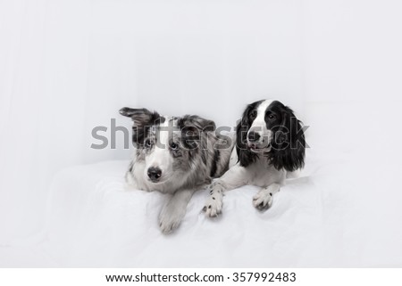 Two dog breeds Border collie and Russian Spaniel lying on the bed