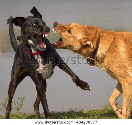 Two dogs play fighting for dominance, close up with teeth bared