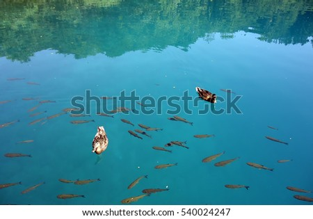 Two ducks and fish are swimming in the clear blue water lakes