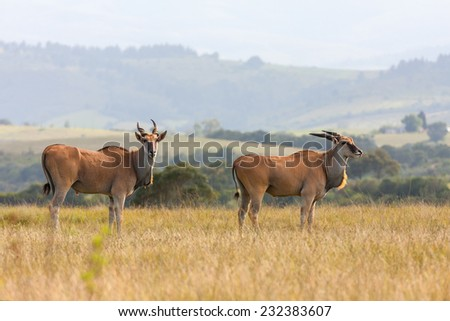 two eland in the sun drenched landscape keeping lookout for any danger