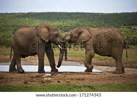 Two elephants play-fighting at the waterhole