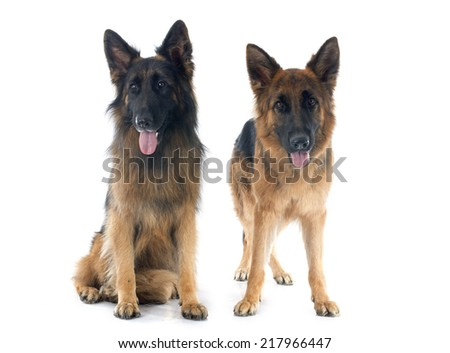two german shepherds in front of white background
