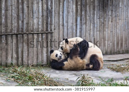 Two giant pandas playing with each other