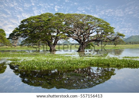 Two gigantic round shaped trees growing in the middle of a big lake with beautiful water reflection. Green vegetation on the surface of the lake, blue sky with small clouds. Tissamaharama, Sri Lanka