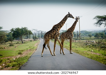 Two giraffes on the road
