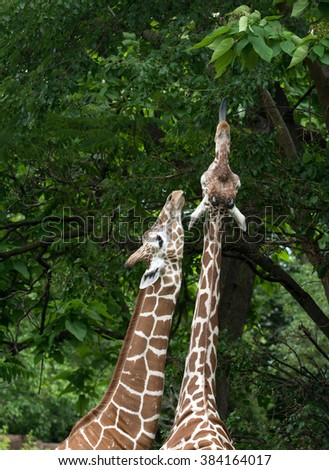 Two giraffes stretch their necks in an attempt to feed