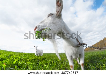Two goats grazing on the green meadow in a sunny day