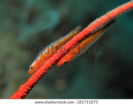 Two goby on a sea whip