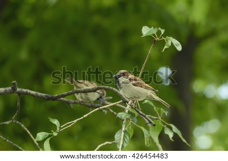 Two house sparrows perched on a tree branch.