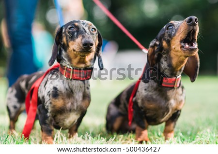 Two howling and barking dachshund dog with red ribbon on their neck protest against the animal cruelty with blurry background
