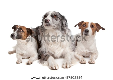 Two Jack Russel Terrier dogs and a Border collie in front of a white background