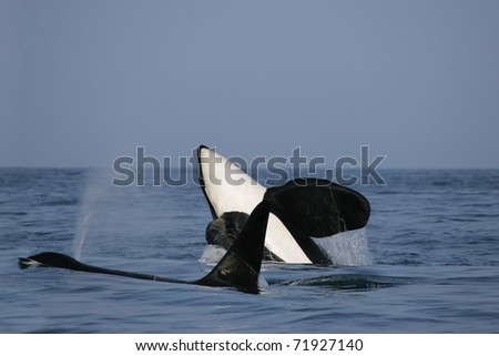 two killer whale males in the wild, one is jumping