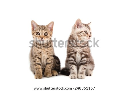 Two Kitten British striped brown on white background. Kitten two month.