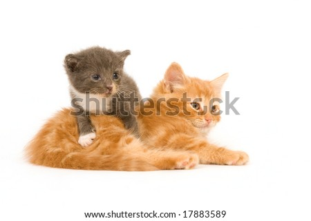 Two kittens , one which is only a few weeks old, sitting on a white background