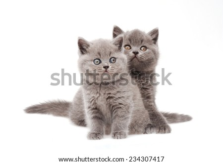 Two little british kittens