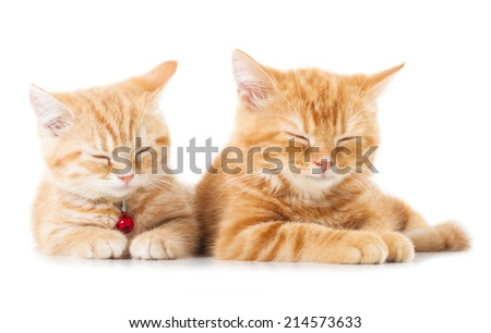 Two little Ginger british shorthair cats over white background