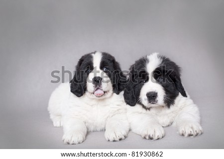 Two little Landseer (newfoundland type) puppies portrait at grey background