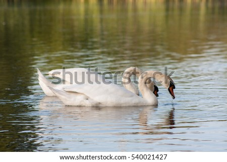 Two lovers swan on the lake in the early spring morning