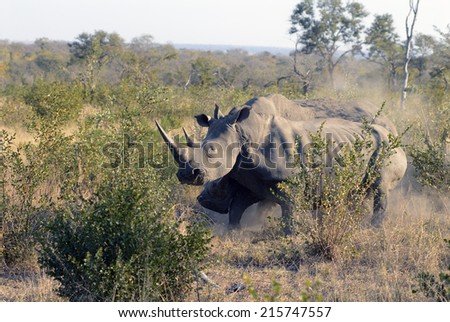 Two male rhinos fighting in the Kruger National Park. South Africa
