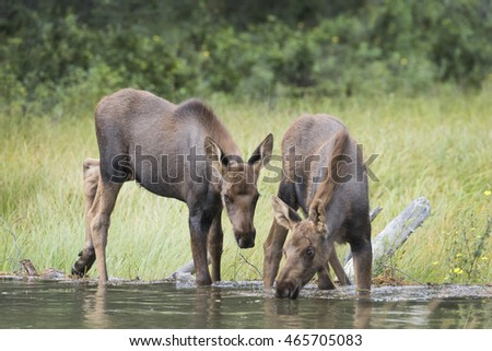 Two Moose Calves