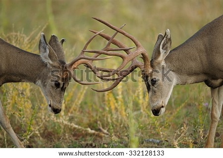 Two Mule Deer bucks fighting and sparring with heads lowered and antlers engaged, Odocoileus hemionus